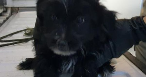 Animal Idt35225995 Rnspeciestdog Rnbreedtterrier Mix Rnaget4 Months 2 Days Rngendertmale Rnsizetsmall Rncolortblack Rnsitetcity Of Animals Dogs Animal Shelter