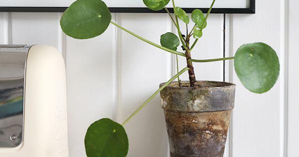 plante verte design pilea peperomioides ou plante monnaie chinoise d co pinterest. Black Bedroom Furniture Sets. Home Design Ideas
