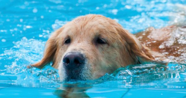 Daily Cute Retriever Puppies Learn To Swim Like Their Dad Video