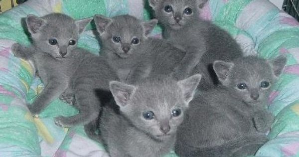 Russian Blue Kittens Russian Blue Russian Blue Kitten