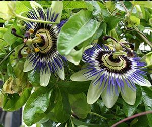 Passion Flower Extract Benefits Side Effects Dosage Reviews Where To Buy Passion Flower Passion Flower Tea Healing Plants