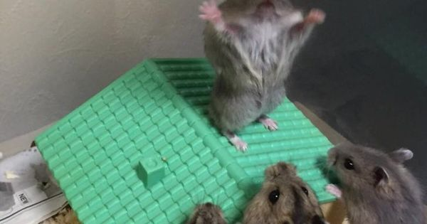 hamster preaching to his people funny stuff pinterest people. Black Bedroom Furniture Sets. Home Design Ideas