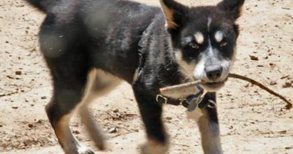 Kaia The Husky Mix Puppy Breed Australian Shepherd Siberian