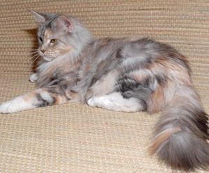 Pin On Maine Coon 3