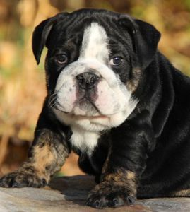 Love English Bulldog Puppies For Sale Best Quality Akc Rare Color
