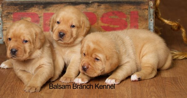 Fox Red Lab Puppies 3 Weeks Old Females Puppies For Sale Cute Puppies Balsam Branch Kennelfox Red Lab Puppies Bal Lab Puppies Puppies Red Lab Puppies