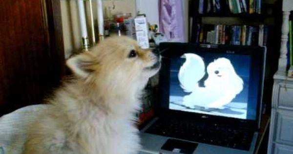 Singing Pomeranian Youtube Lap Dogs Pomeranian Puppy Pomeranian