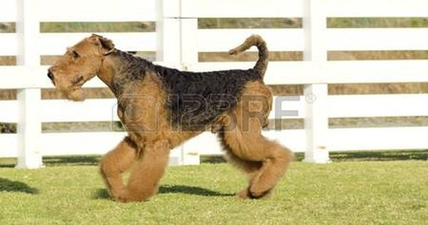 Airedale A Profile View Of A Black And Tan Airedale Terrier Dog