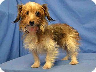 Dachshund Yorkie Yorkshire Terrier Mix Dog For Adoption In St Louis Missouri Maple Yorkshire Terrier Terrier Mix Dogs Dog Adoption