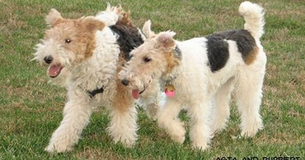Scruffy Wire Haired Fox Terriers The One On The Right Looks