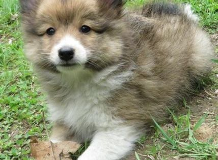 fluffy sheltie by ragzx0fxlace - photo #23