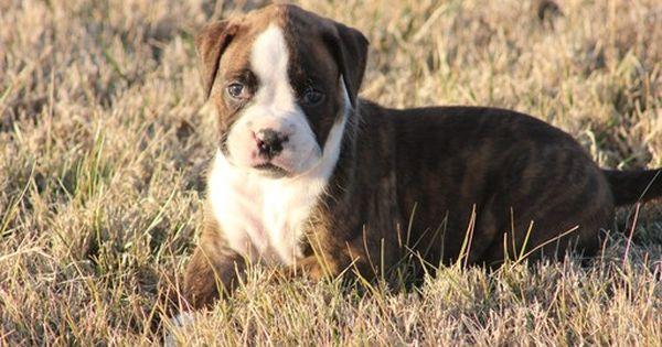 Boxer Puppy For Sale In Ozark Mo Adn 26486 On Puppyfinder Com