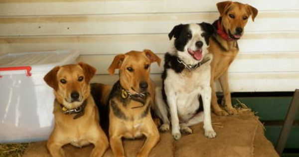 New Zealand Huntaway New Zealand Huntaway Pups Dogs Puppies Gumtree Australia Lockyer Dogs And Puppies Gumtree Australia Labrador Retriever