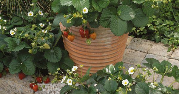 Bijen in de tuin zijn heel nuttig ze verhogen niet allen de opbrengst van de aardbeienplanten for Tuin allen idee