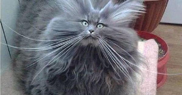 Bad Hair Day Cat cute animals cat cats adorable animal kittens pets