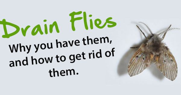 Drain Flies Why You Have Them And How To Get Rid Of Them How To Get Rid Moth Fly Get Rid Of Flies
