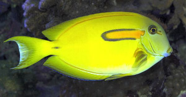 Orangespot Surgeonfish Aquarium Fish For Sale Tang Fish Live Aquarium Fish