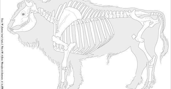 Bison bison AKA tatonka NOT A