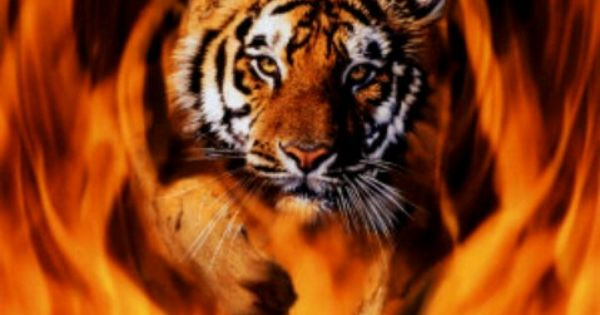 Flaming Tigers Year Of The Tiger Pinterest Tigers