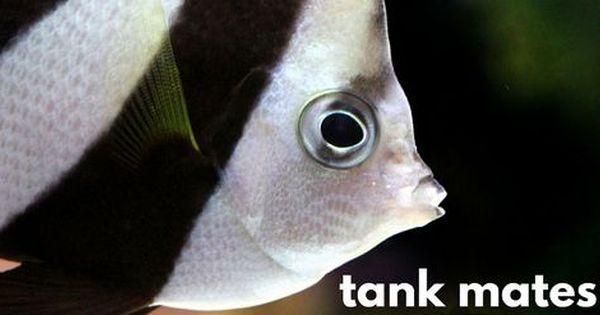 13 Colorful Angelfish Compatible Tank Mates Angel Fish Angel Fish Tank Fish Pet