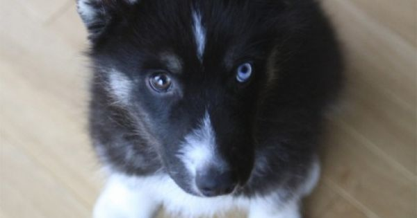 Husky Frases: HUSKY PUPPY WITH DIFFERENT COLORED EYES. Aw I Had Dakota