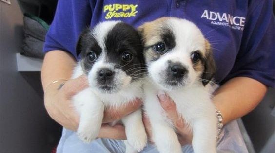 Dogs And Puppies Puppies Spaniel Puppies Puppies For Sale