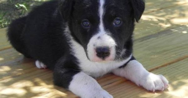 Mcnab Border Collie Cross Puppies Mcnab Dog Puppies For Sale Puppies