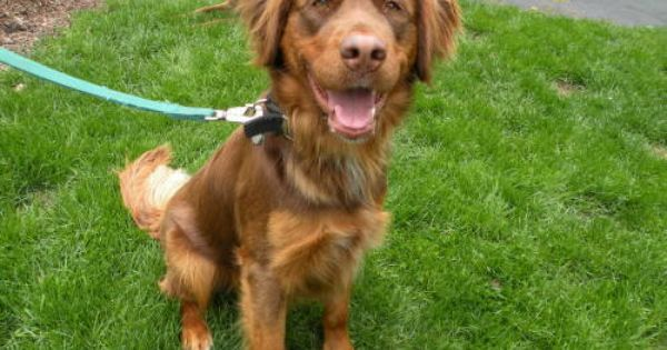 Adopt Donzi On Golden Retriever Mix Irish Setter Dogs