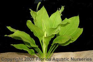 Aquarium Plant Echinodorus Bleheri Compacta Plantas Acuaticas Plantas Cultivar