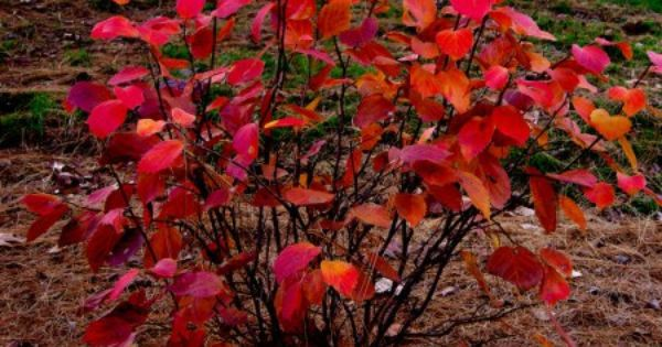 Pin On 1 Plants For Fall Color