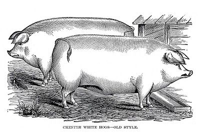 This Image Comes From An 1880 S Livestock Handbook These Are Two Cute Portly Pigs Or Hogs Fun Also A Big Thank You To Everyon Pig Art Vintage Farm Farm Art