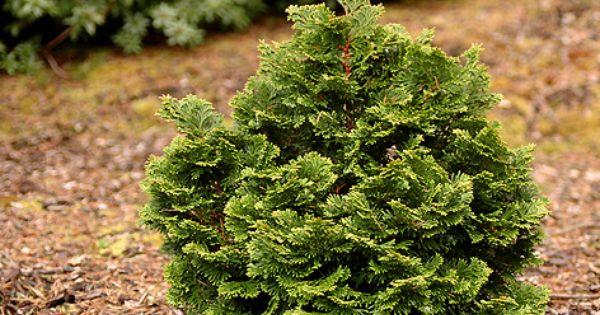 Hage Hinoki Cyprus Landscaping Pinterest Evergreen