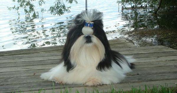 Long Hair Black And White Shih Tzu Shih Tzu Dog Shih Tzus Shih Tzu