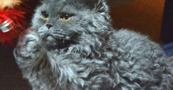 Beautiful Curly Haired Cat Breeds In The World Cat Breeds Cat Breeding Fluffy Cat Breeds Grey Cat Breeds Curly Ha Curly Cat Grey Cat Breeds Devon Rex Cats