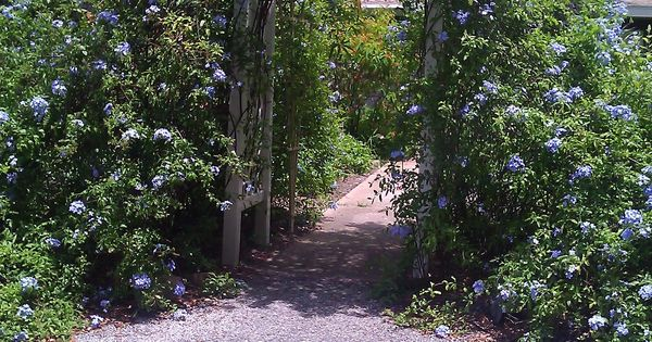 Plumbago Can Climb This Archwway Is A Perfect Example