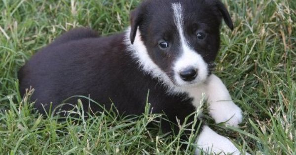 Border Collie Mcnab Best Breed Ever Collie Puppies For Sale Puppies For Sale Border Collie Puppies