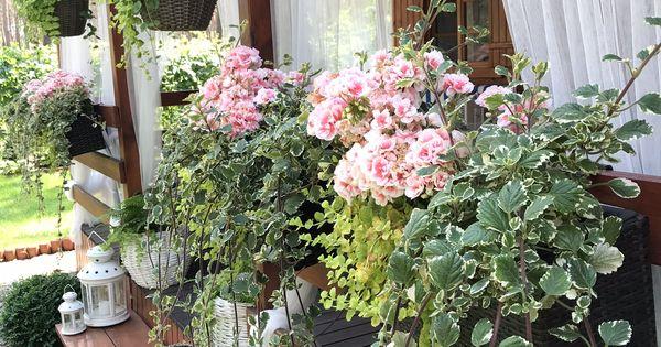 Pelargonia Na Balkonie To Najlepszy Wybor Twoje Diy Terrace Garden Garden Plants