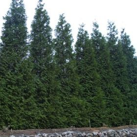 Thuja Green Giant Every April 15th The Dreaded Tax Day I Fertilize With 2 3 Tablespoons Of Osmocote Slo Thuja Green Giant Green Giant Arborvitae Arborvitae