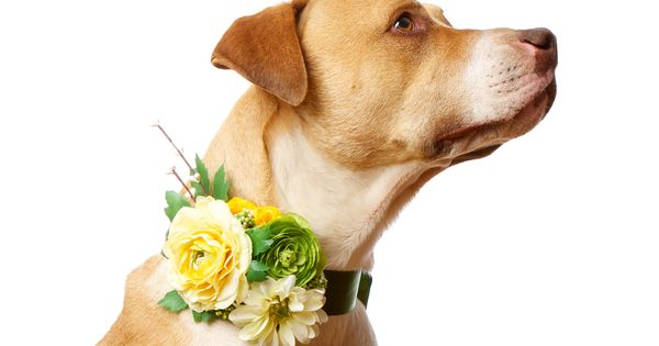 Deluxe Custom Floral and Satin Canine Wedding Corsage for Flower Dog and Pet Attendant (Pet Accessories). $48.00, via Etsy.