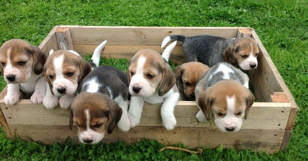 Beagle Dogs : Temperament, Exercise and Grooming - ExtendCreative.