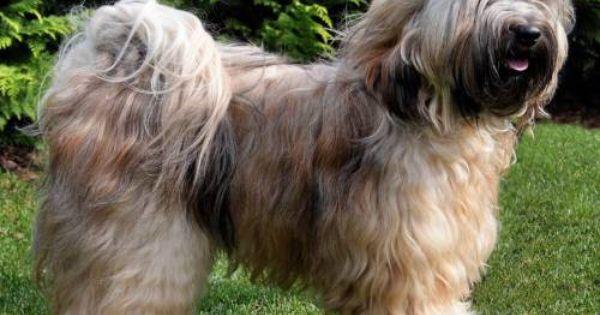 Tibetan Terrier Tibetan Terrier Dog Breeds Terrier Dog Breeds