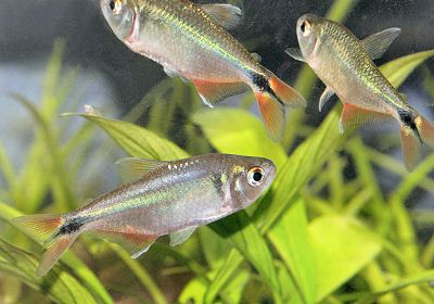 Buenos Aires Tetra Hyphessobrycon Anisitsi Aquarium Fish Tropical Fish One Fish