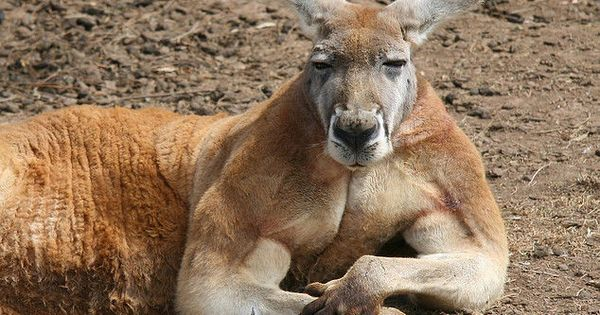 Do you even lift kangaroo - photo#29
