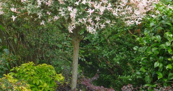 saule crevette en arbre fleurs et compagnie pinterest gardens garden shrubs and flowering. Black Bedroom Furniture Sets. Home Design Ideas