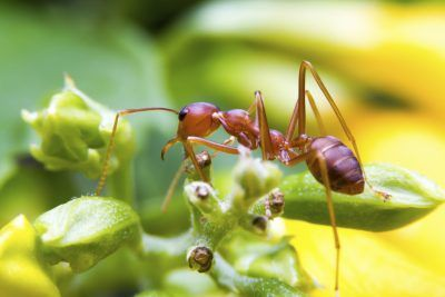 Fire Ant Control In Gardens Tips For Controlling Fire Ants Safely Ant Control Fire Ants Ants