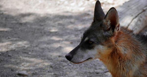 Wolf ذئب Fox Photo Animals