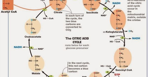 Difference between Glycolysis and Krebs Cycle | MCAT ...