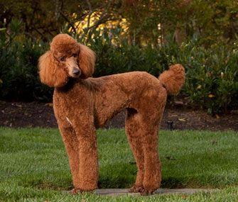 The Most Popular Poodle Names Standard Poodle Red Poodles