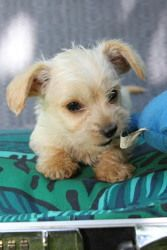 Adopt Yorkie Poodle Dachshund Mix Litter 2 On Petfinder Yorkie Poodle Yorkshire Terrier Dachshund Mix