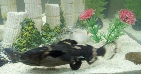 South American Bumblebee Catfish Profil Information Goodmorning Catfish Tank Catfish Fishing Catfish